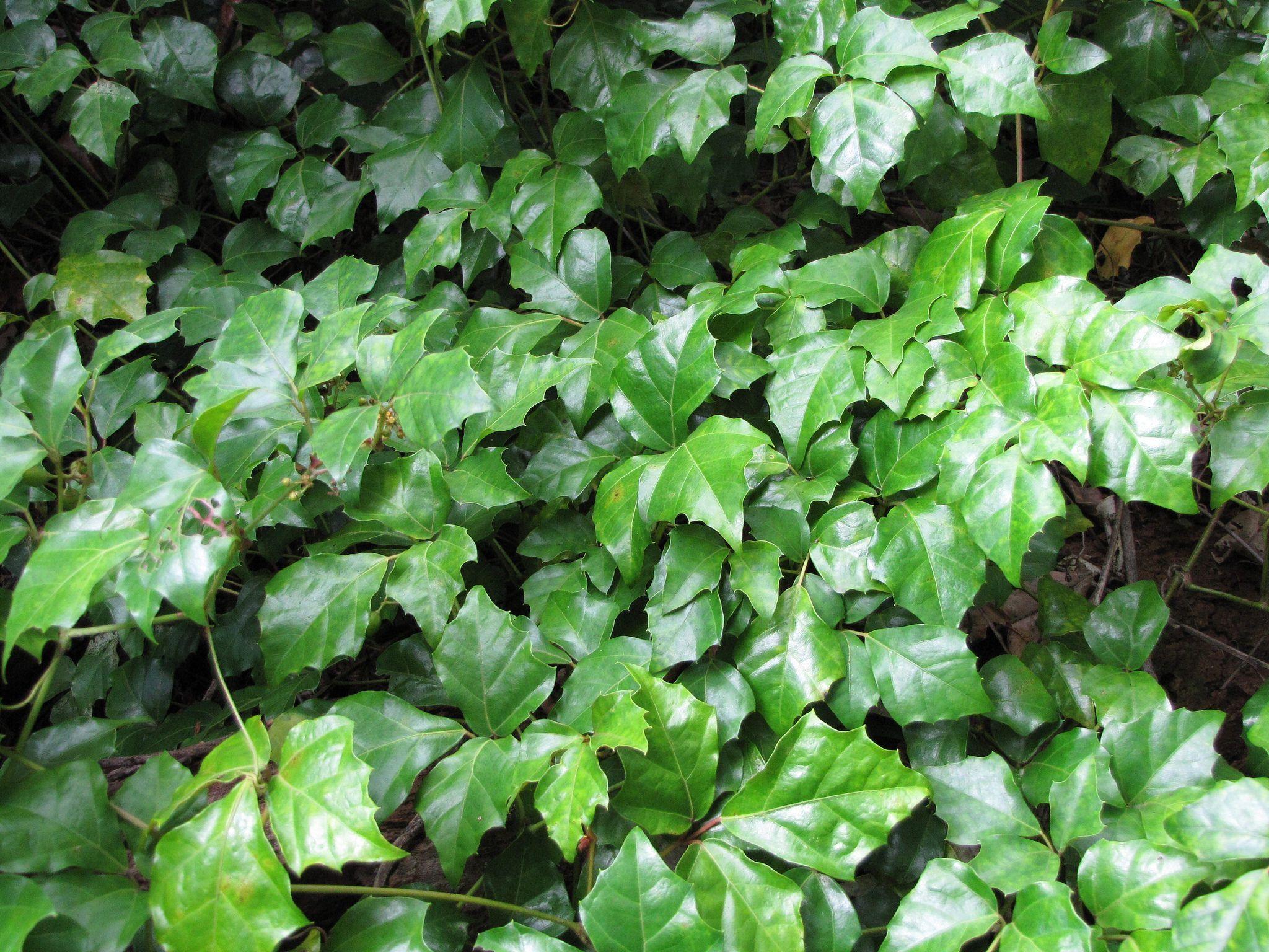 Cissus Una Atractiva Planta Trepadora De Color Verde