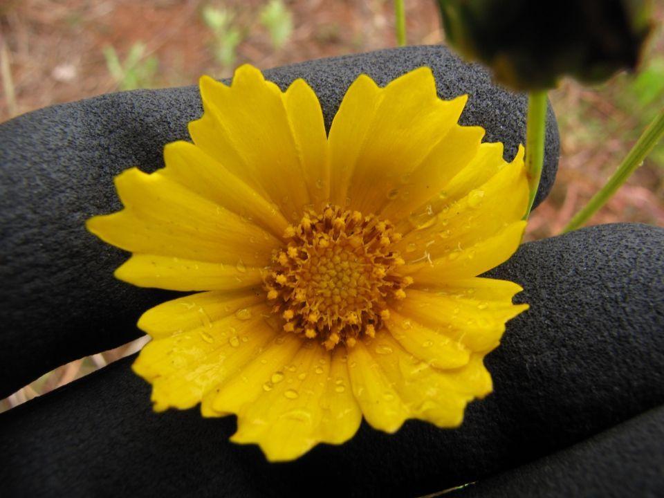 Coreopsis lanceolata planta