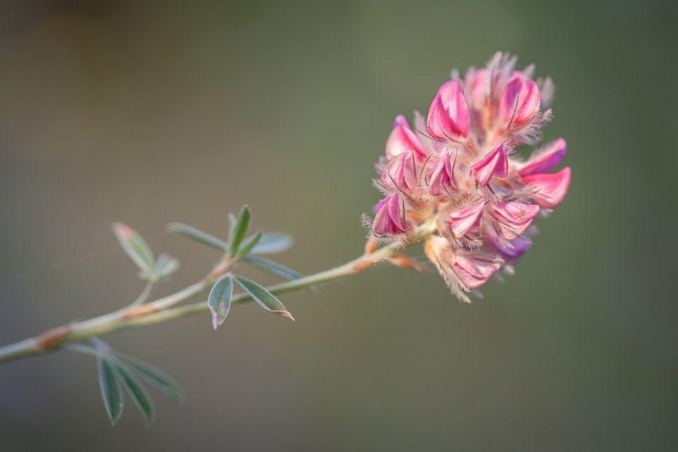Ebenus cretica arbusto