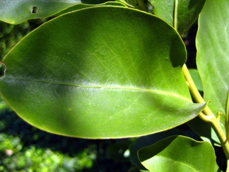 Griselinia littoralis arbusto