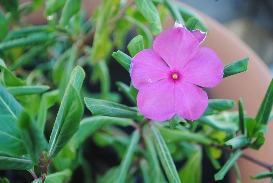 La Impatiens walleriana da unas flores muy coloridas ¡Descúbrela!