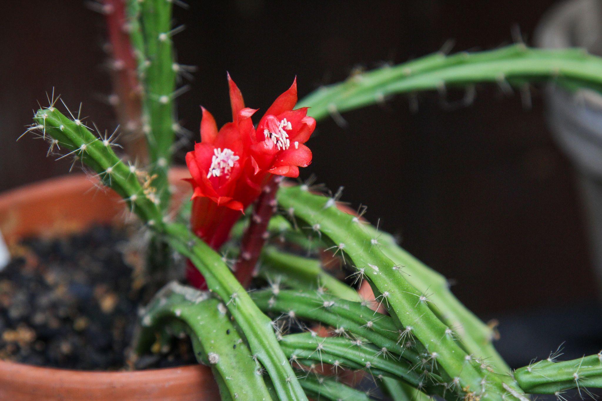 Especies de Aporocactus, propagación, problemas y guía de compra