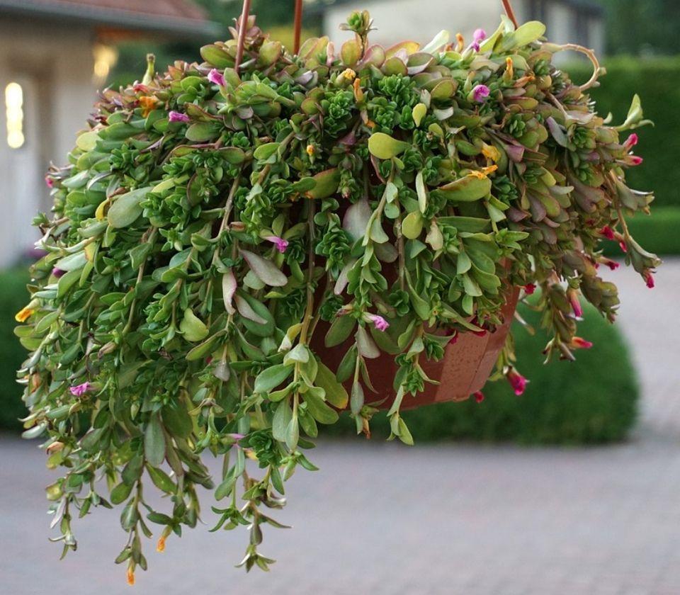 Cestas colgantes plantas