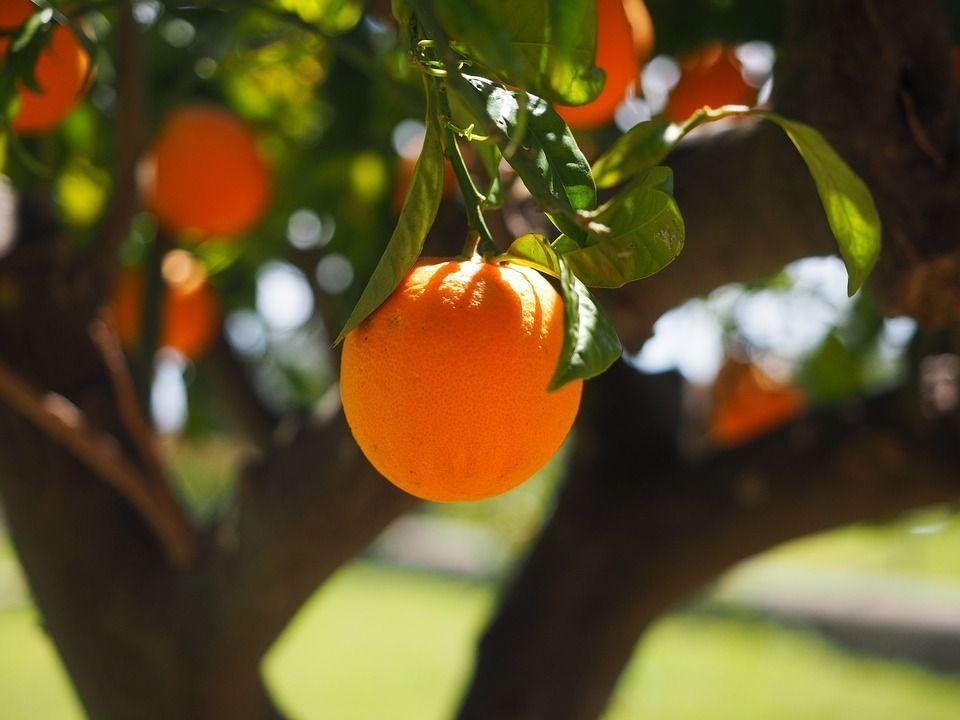 arbol de naranjo