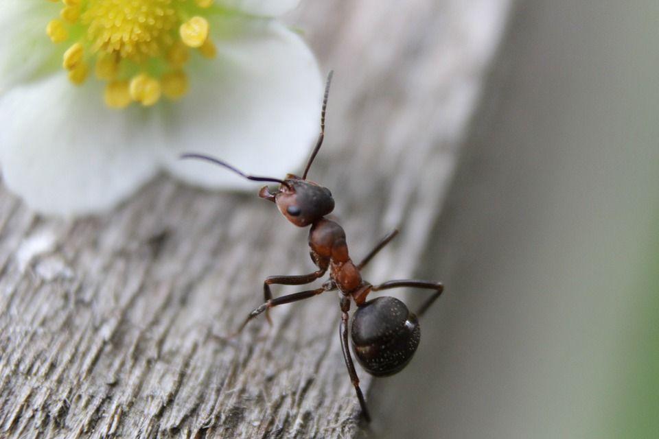 combatir hormigas