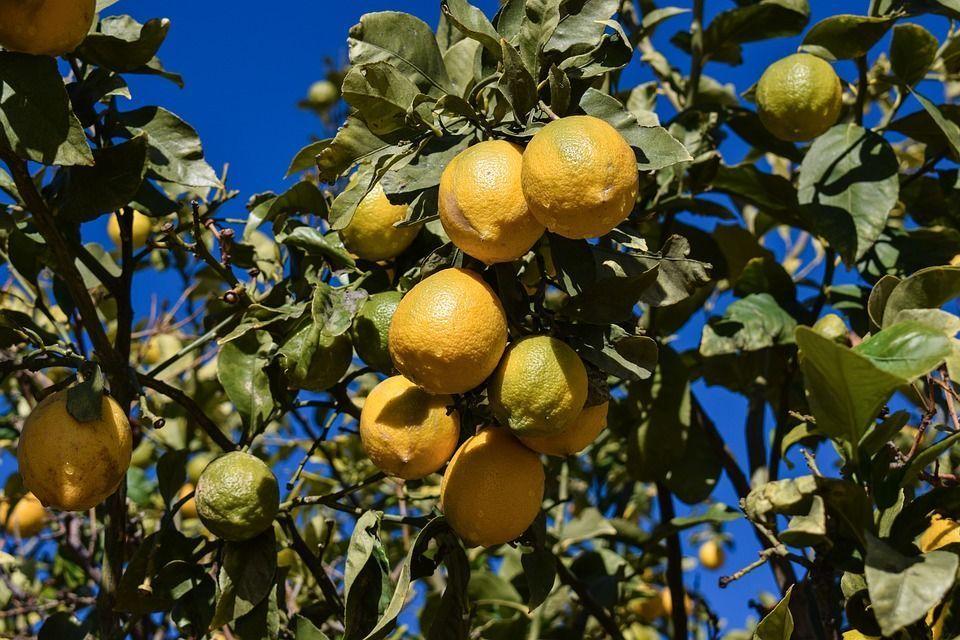 limonero2