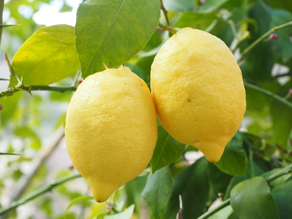 cultivar limones