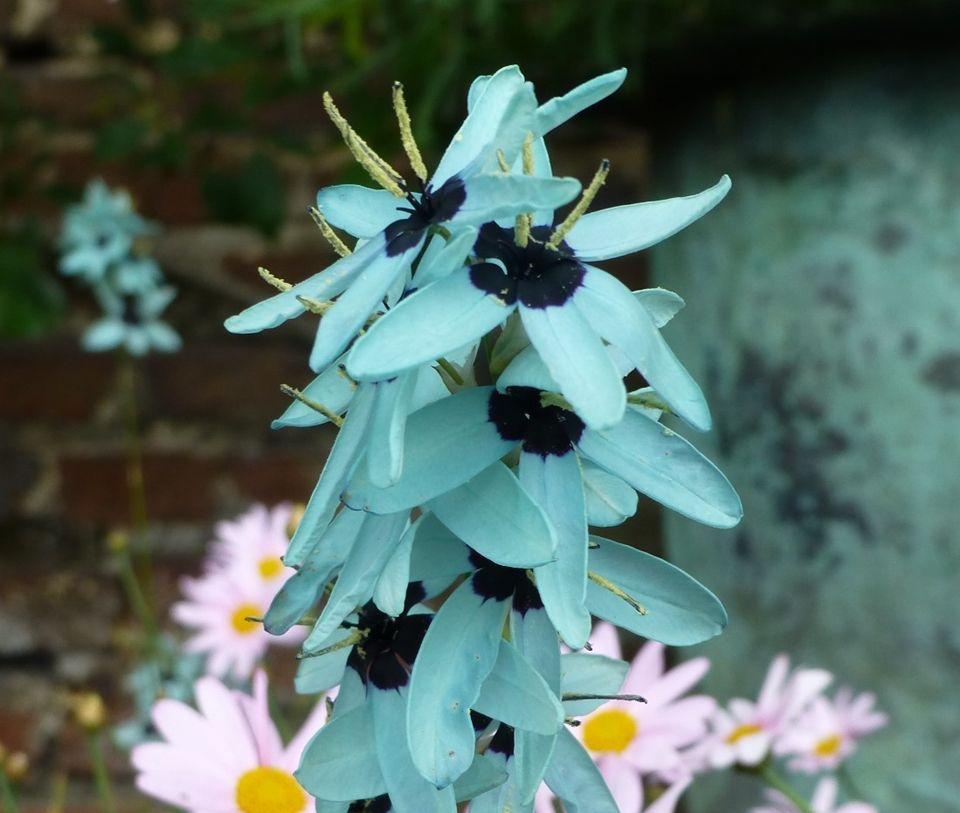 Flores de la ixia