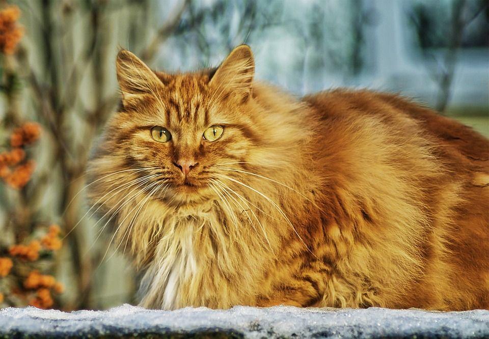 pelaje del gato