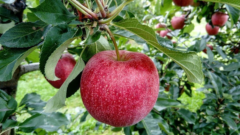 Por Qué Los Frutos De Los Arboles Caen