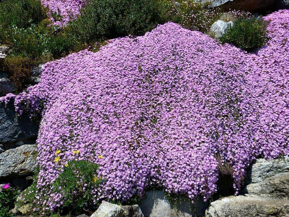 Lampranthus spectabilis1