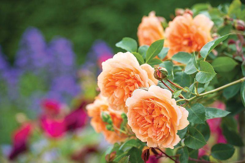 Rosal Ingles Dame Judi