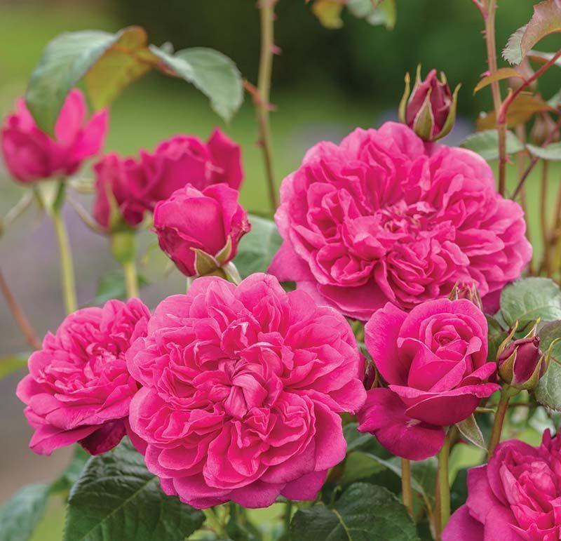 Rosal Ingles James L. Austin