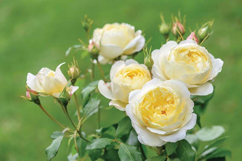 Rosal ingles Vanesa Bell