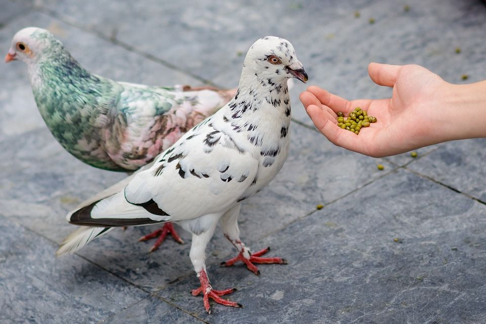Aimentos palomas