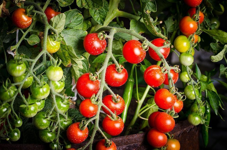 Cultivar tomate
