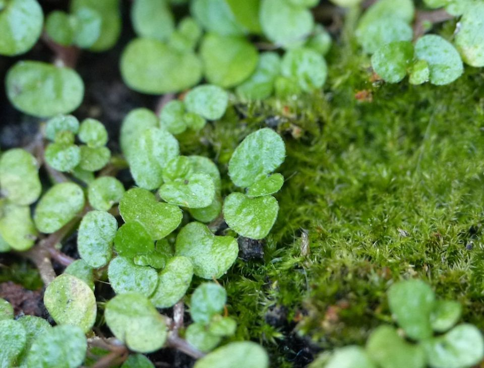 Soleirolia soleirolii planta