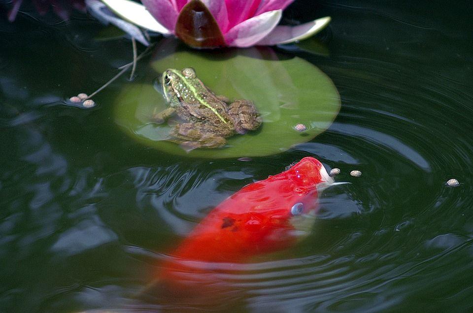 C mo cuidar de un estanque de agua en el jard n for Estanque de peces en el jardin