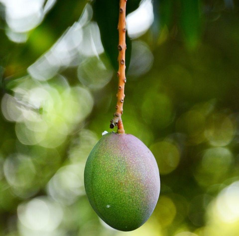 Mango cultivo