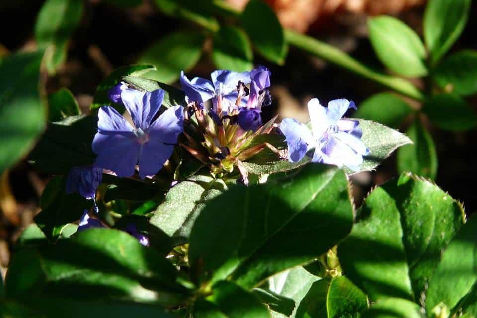 Ceratostigma plumbaginoides planta