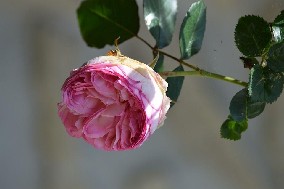 Cuidados rosales