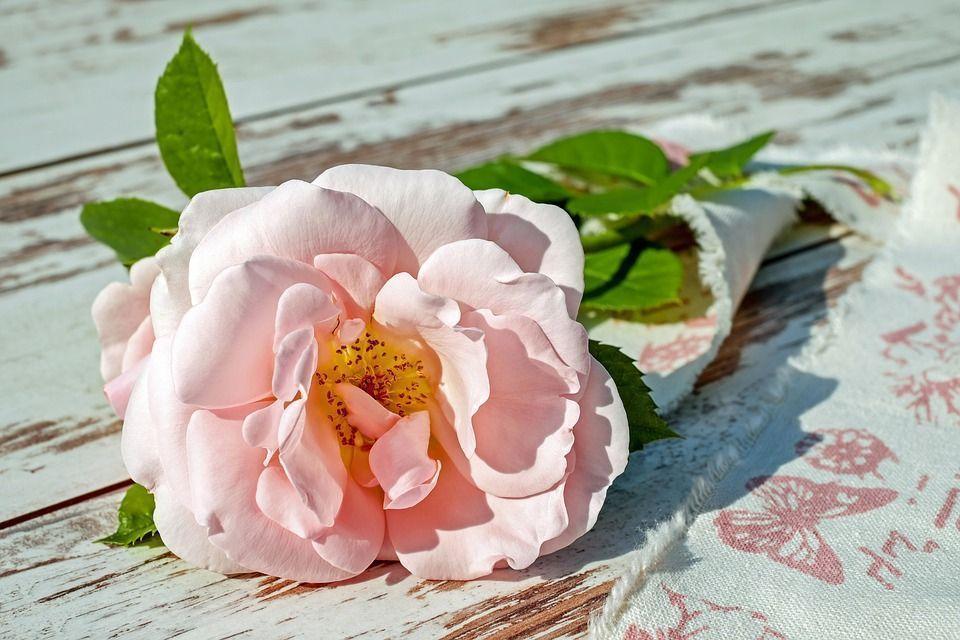 Enraizar rosa