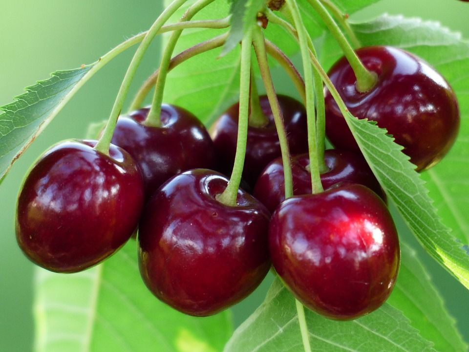 Sembrar cerezas