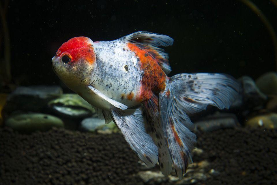 Enfermedades peces