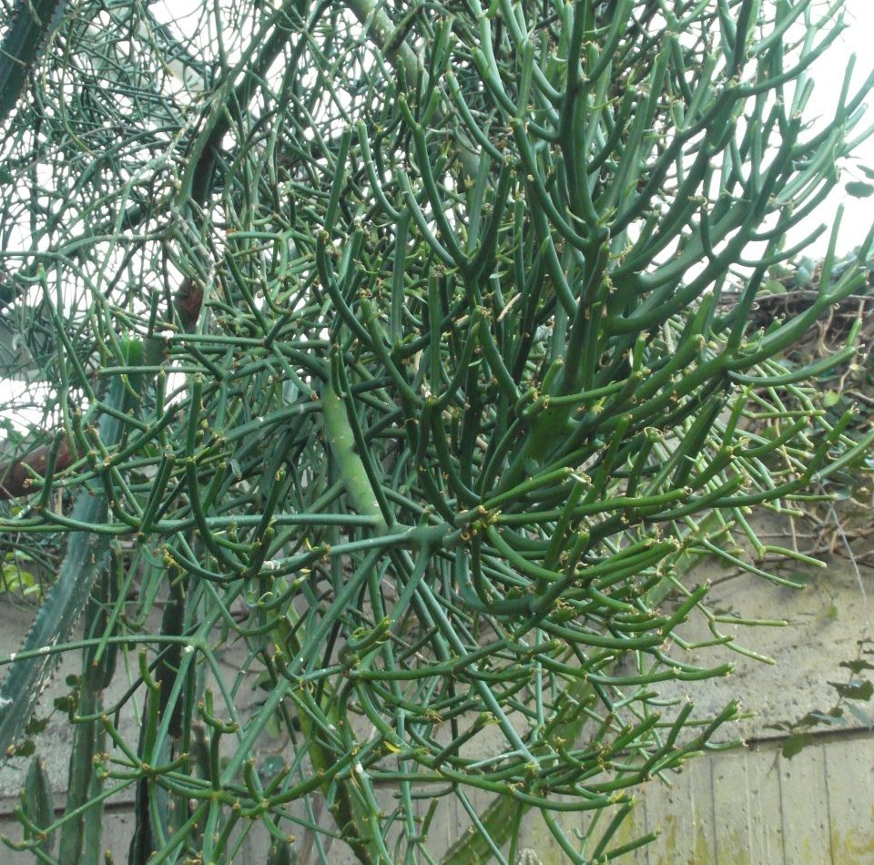 Euphorbia tirucalli arbusto