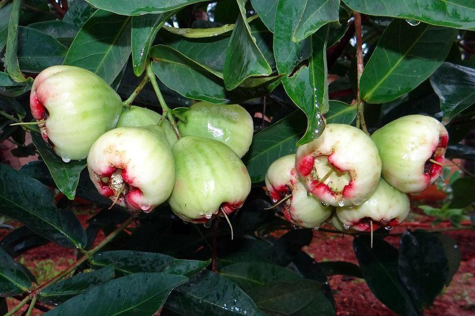 Pomarrosa fruta