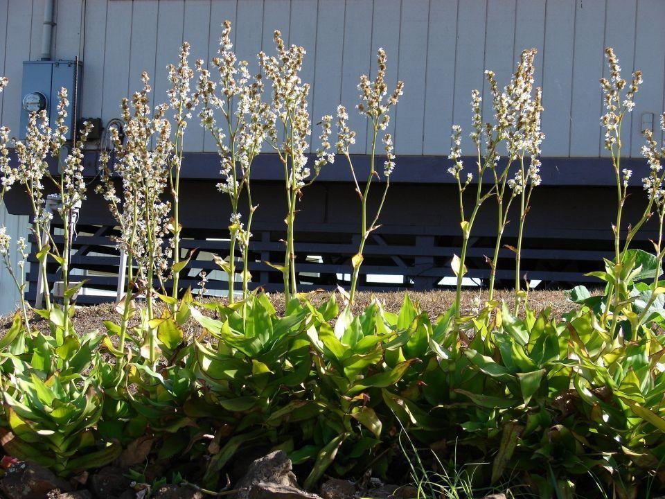 Callisia Fragans planta