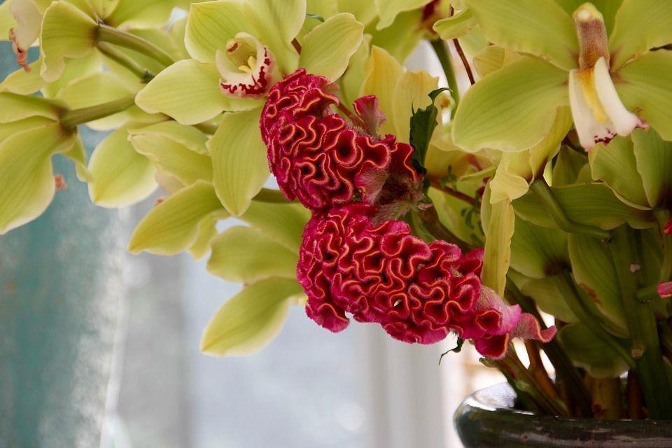 Celosia argentea planta
