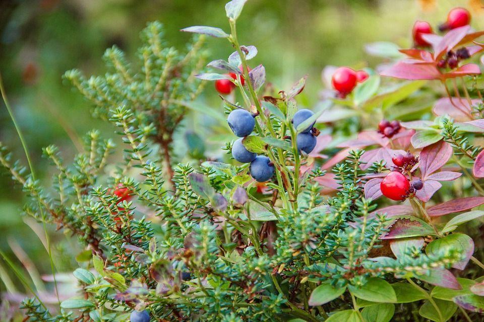 Juniperus communis planta