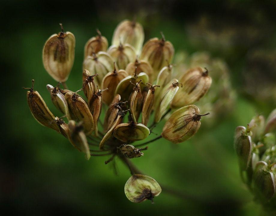 Pimpinella anisum planta