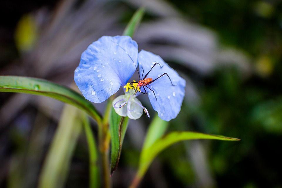 Commelina erecta planta