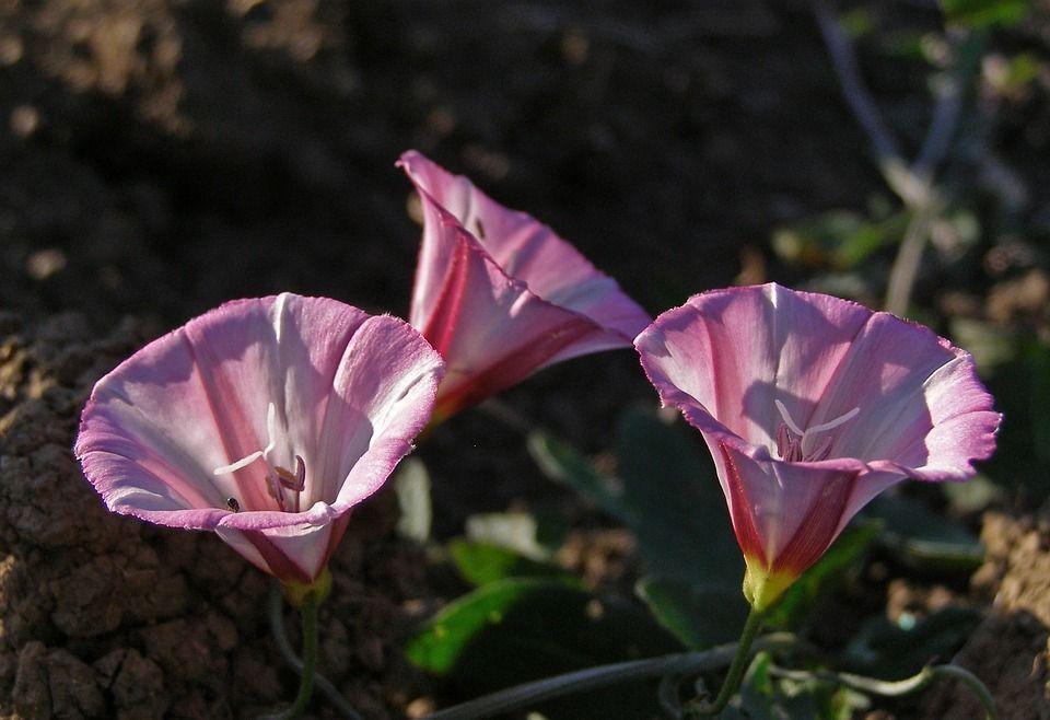 Convolvulus arvensis planta