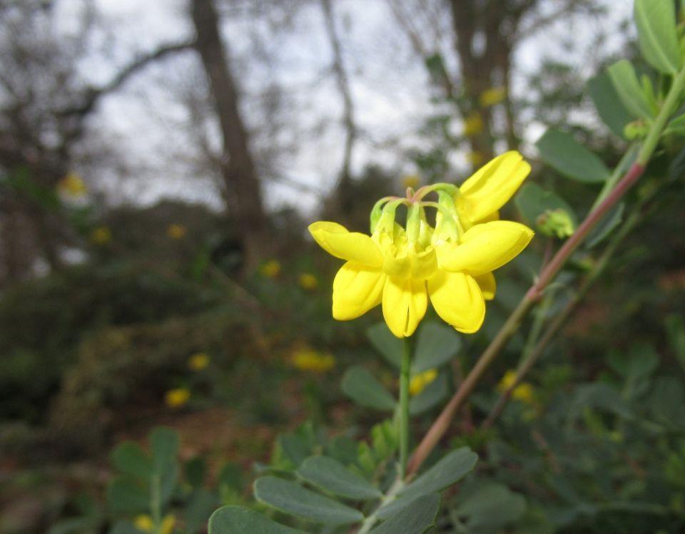 Coronilla valentina planta
