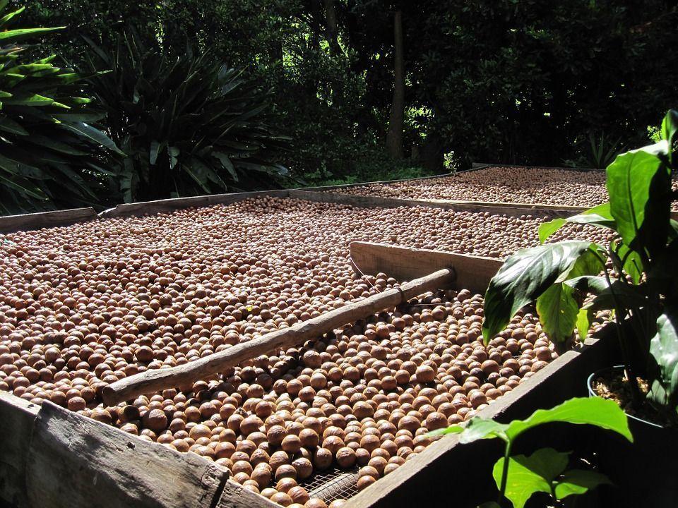 Cultivo nuez macadamia