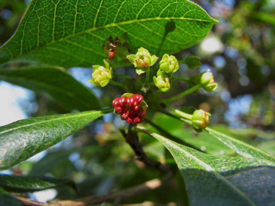 Dodonaea viscosa arbusto