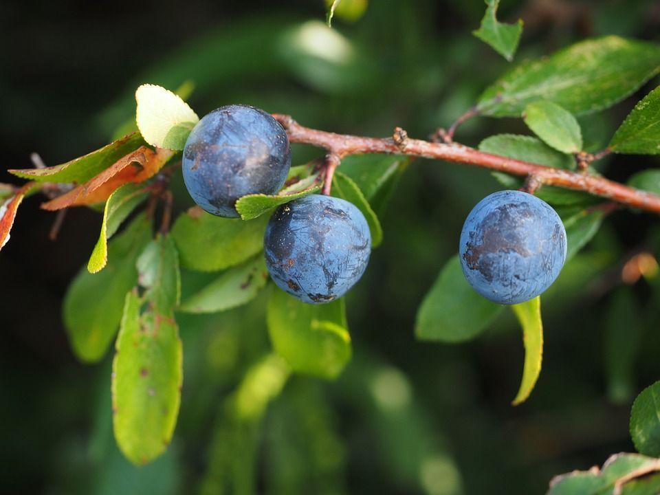 Prunus spinosa fruto