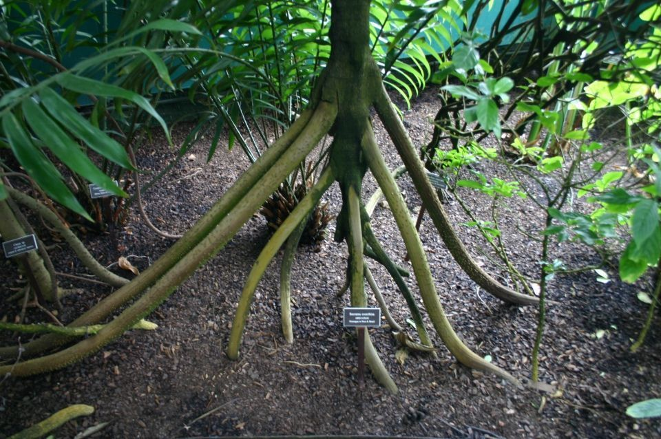 Socratea exorrhiza palmera