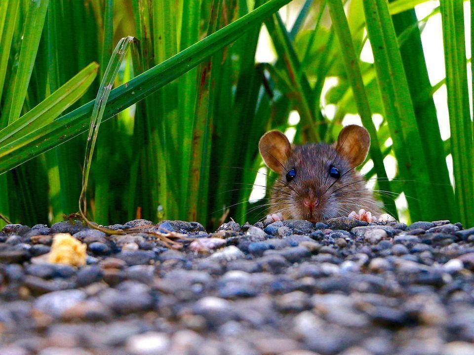 Alejar ratas compost