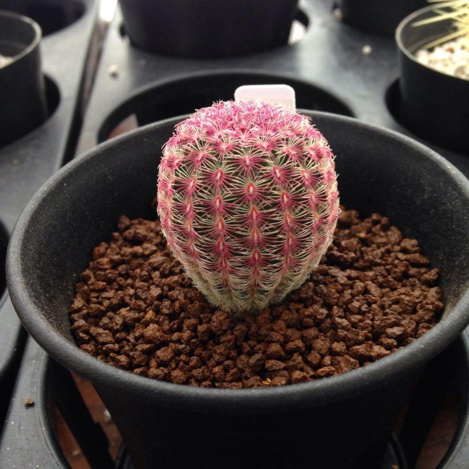 Echinocereus rigidissimus cactus