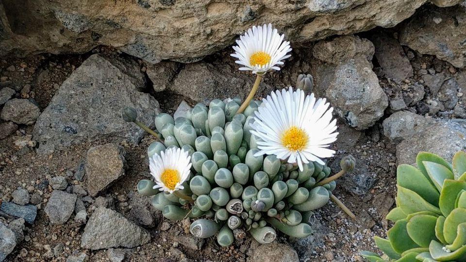 Fenestraria rhopalophylla suculenta