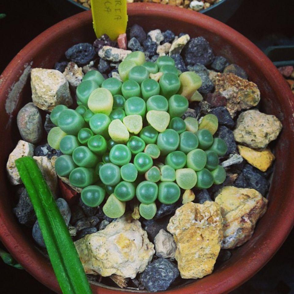 Fenestraria rhopalophylla