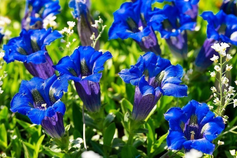 Gentiana alpina planta