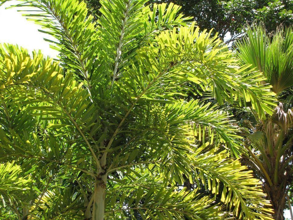 Wodyetia bifurcata palmera