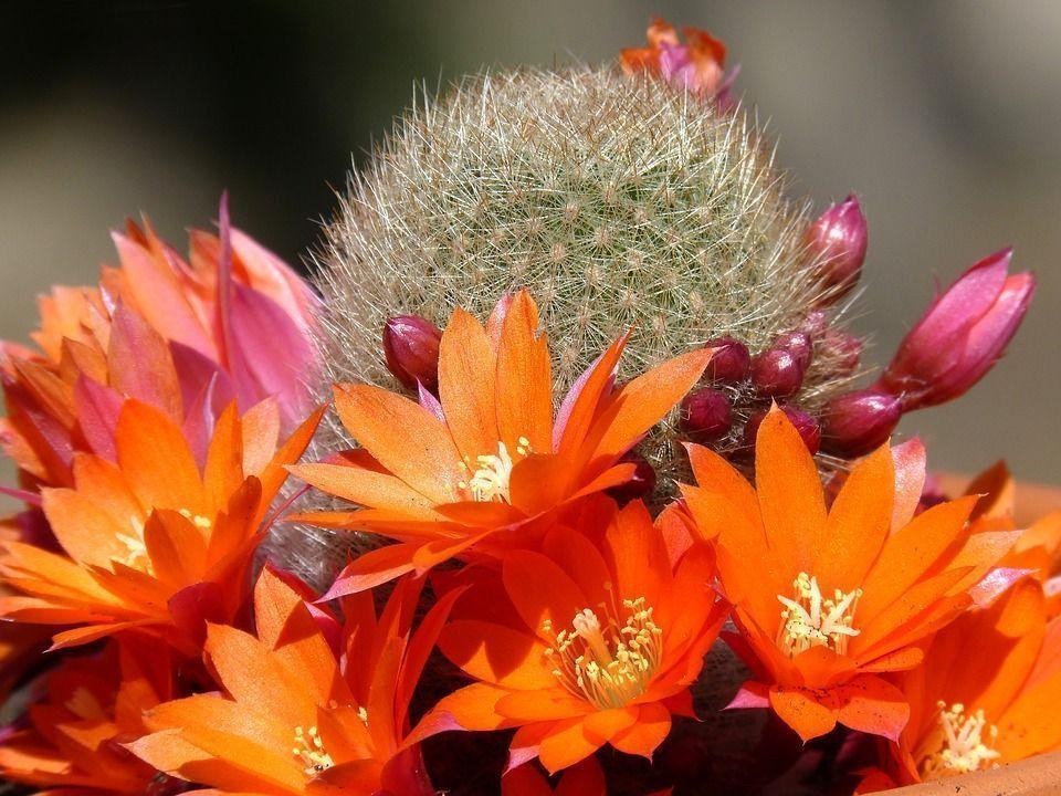 Cactus florecer