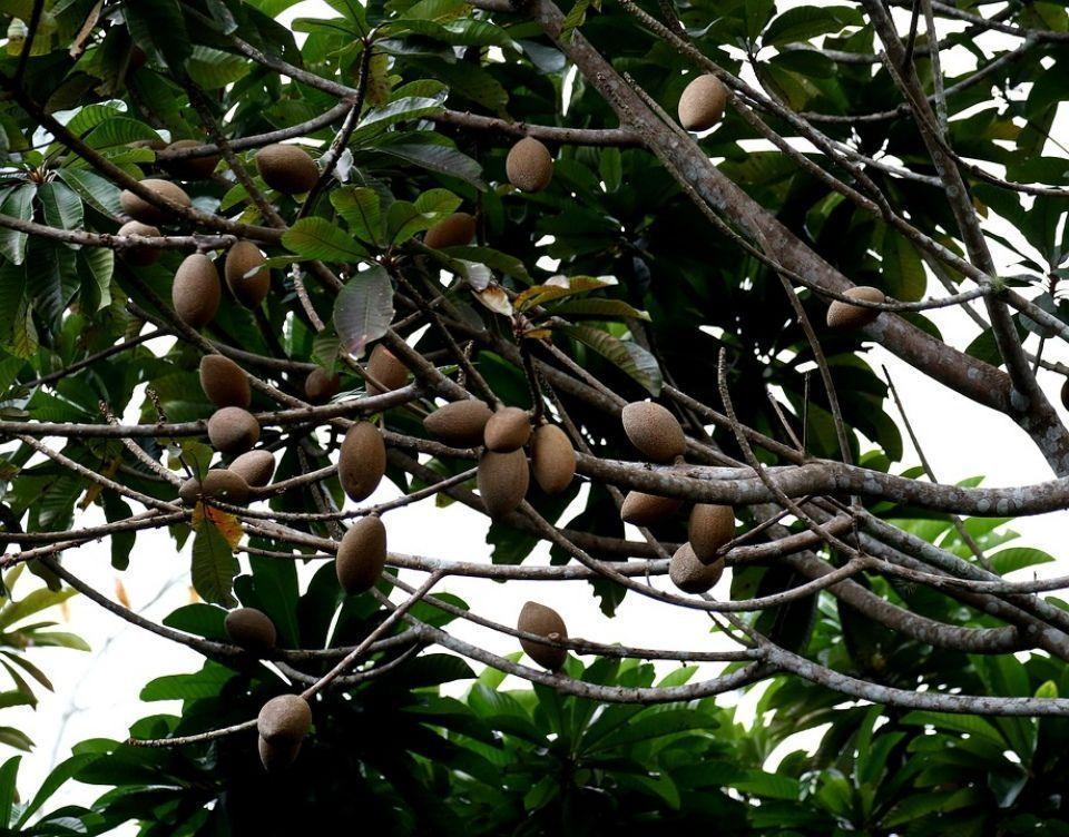 Cultivo Pouteria sapota