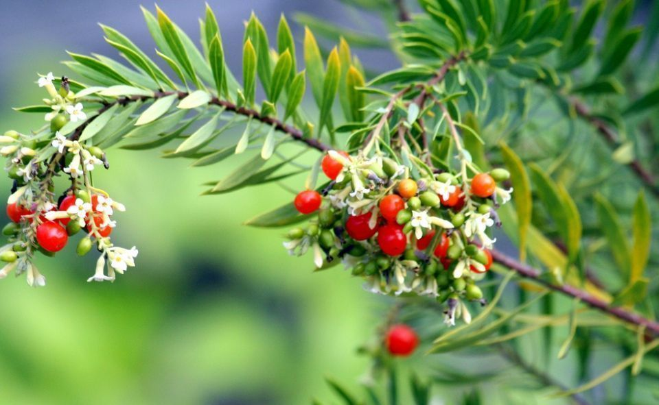 Daphne gnidium arbusto